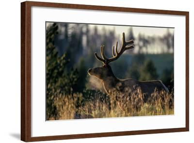 An Alert Bull Elk, with Velvet Covered Antlers, Stands in the Sunlight in Tall Grass-Tom Murphy-Framed Photographic Print