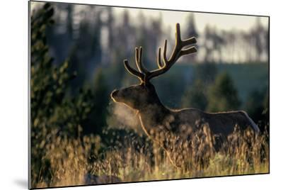 An Alert Bull Elk, with Velvet Covered Antlers, Stands in the Sunlight in Tall Grass-Tom Murphy-Mounted Photographic Print
