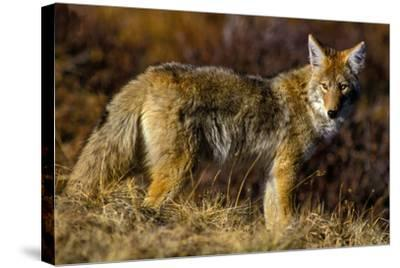 A Coyote on the Lookout for Mice and Other Prey-Tom Murphy-Stretched Canvas Print