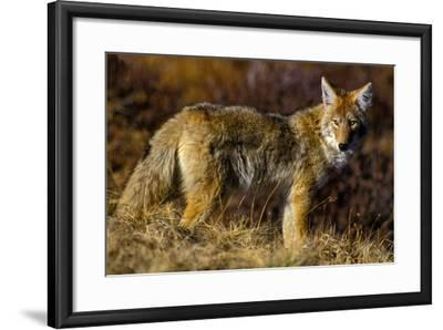 A Coyote on the Lookout for Mice and Other Prey-Tom Murphy-Framed Photographic Print