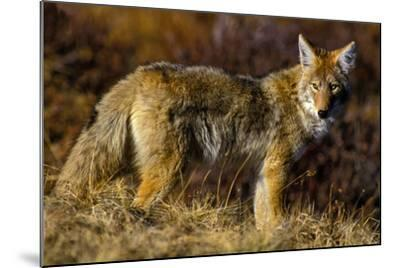 A Coyote on the Lookout for Mice and Other Prey-Tom Murphy-Mounted Photographic Print
