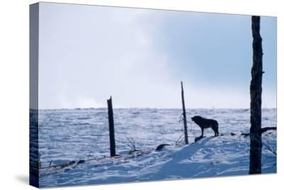 Howling, Listening, and Watching, a Black Wolf Tries to Find the Rest of its Pack-Tom Murphy-Stretched Canvas Print