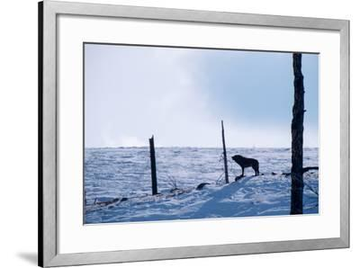 Howling, Listening, and Watching, a Black Wolf Tries to Find the Rest of its Pack-Tom Murphy-Framed Photographic Print