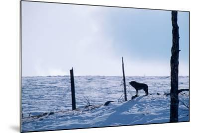 Howling, Listening, and Watching, a Black Wolf Tries to Find the Rest of its Pack-Tom Murphy-Mounted Photographic Print