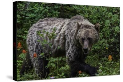 Portrait of a Grizzly Bear, Ursus Arctos, Walking Through Shrubs and Wildflowers-Jonathan Irish-Stretched Canvas Print