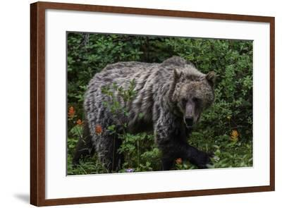Portrait of a Grizzly Bear, Ursus Arctos, Walking Through Shrubs and Wildflowers-Jonathan Irish-Framed Photographic Print