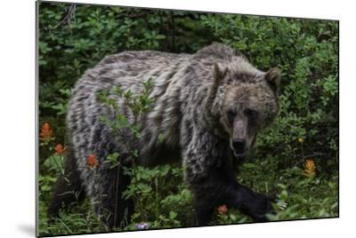Portrait of a Grizzly Bear, Ursus Arctos, Walking Through Shrubs and Wildflowers-Jonathan Irish-Mounted Photographic Print