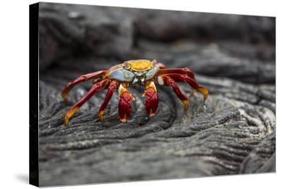 A Sally Lightfoot Crab Rests on Pahoehoe Lava at Sullivan Bay on Santiago Island in Galapagos Natio-Karine Aigner-Stretched Canvas Print