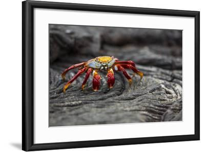 A Sally Lightfoot Crab Rests on Pahoehoe Lava at Sullivan Bay on Santiago Island in Galapagos Natio-Karine Aigner-Framed Photographic Print