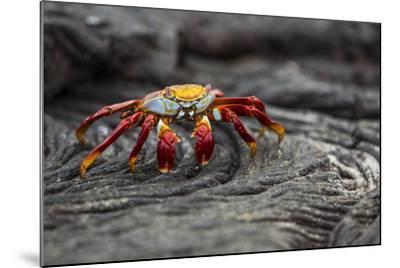 A Sally Lightfoot Crab Rests on Pahoehoe Lava at Sullivan Bay on Santiago Island in Galapagos Natio-Karine Aigner-Mounted Photographic Print