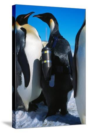 An Emperor Penguin, Aptenodytes Forsteri, with an Underwater Critter Cam Harnessed to its Back-Greg Marshall-Stretched Canvas Print