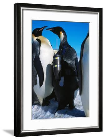 An Emperor Penguin, Aptenodytes Forsteri, with an Underwater Critter Cam Harnessed to its Back-Greg Marshall-Framed Photographic Print