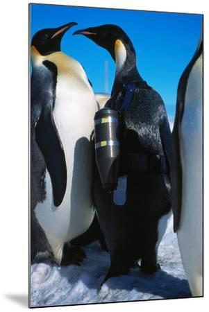 An Emperor Penguin, Aptenodytes Forsteri, with an Underwater Critter Cam Harnessed to its Back-Greg Marshall-Mounted Photographic Print