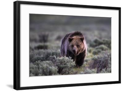 Portrait of a Grizzly Bear, Ursus Arctos, Walking Through Brush-Robbie George-Framed Photographic Print