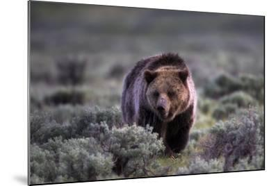 Portrait of a Grizzly Bear, Ursus Arctos, Walking Through Brush-Robbie George-Mounted Photographic Print