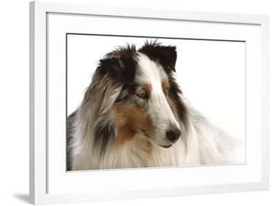 Close Up Portrait of a Pet Shetland Sheepdog-Vickie Lewis-Framed Photographic Print