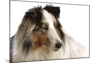 Close Up Portrait of a Pet Shetland Sheepdog-Vickie Lewis-Mounted Photographic Print