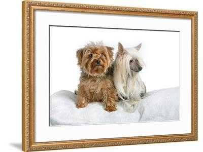 Close Up Portrait of a Pet Chinese Crested Dog and a Yorkshire Terrier-Vickie Lewis-Framed Photographic Print