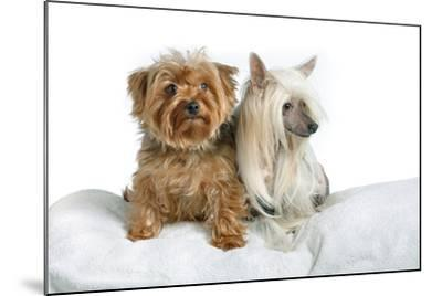 Close Up Portrait of a Pet Chinese Crested Dog and a Yorkshire Terrier-Vickie Lewis-Mounted Photographic Print