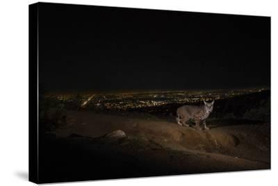 A Remote Camera Captures a Bobcat in Griffith Park-Steve Winter-Stretched Canvas Print