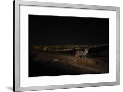 A Remote Camera Captures a Bobcat in Griffith Park-Steve Winter-Framed Photographic Print