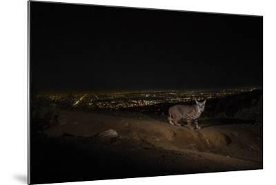 A Remote Camera Captures a Bobcat in Griffith Park-Steve Winter-Mounted Photographic Print