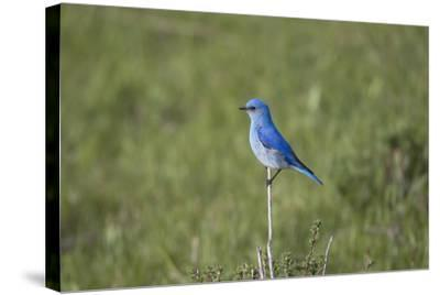 A Male Mountain Bluebird, Sialia Currucoides, Perched on a Twig Looking for Insect Prey-Robbie George-Stretched Canvas Print