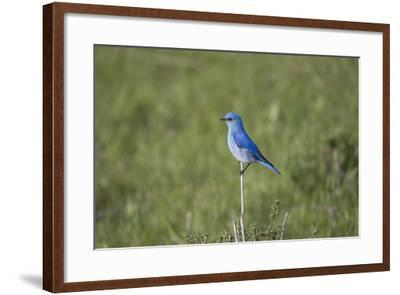A Male Mountain Bluebird, Sialia Currucoides, Perched on a Twig Looking for Insect Prey-Robbie George-Framed Photographic Print