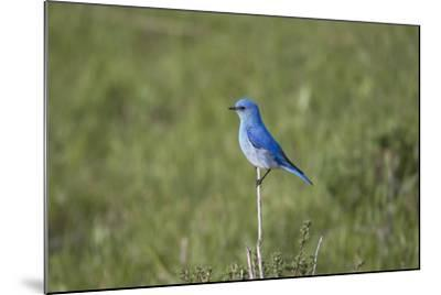 A Male Mountain Bluebird, Sialia Currucoides, Perched on a Twig Looking for Insect Prey-Robbie George-Mounted Photographic Print