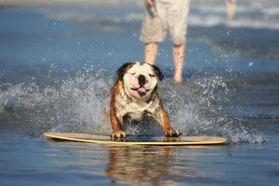 An English Bulldog Shows Off its Skills on a Skimboard-Robbie George-Framed Photographic Print