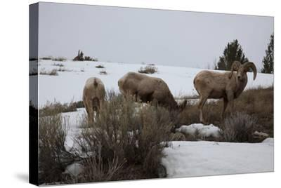 Bighorn Sheep Graze in a Snowy Field in Teton National Park-Steve Winter-Stretched Canvas Print