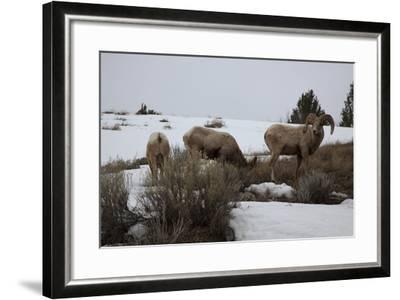 Bighorn Sheep Graze in a Snowy Field in Teton National Park-Steve Winter-Framed Photographic Print