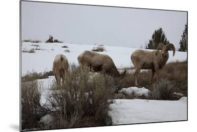 Bighorn Sheep Graze in a Snowy Field in Teton National Park-Steve Winter-Mounted Photographic Print