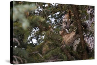 A Cougar, Treed by Hounds, to Be Tranquilized and Fitted with a Tracking Device-Steve Winter-Stretched Canvas Print