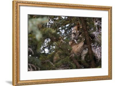 A Cougar, Treed by Hounds, to Be Tranquilized and Fitted with a Tracking Device-Steve Winter-Framed Photographic Print