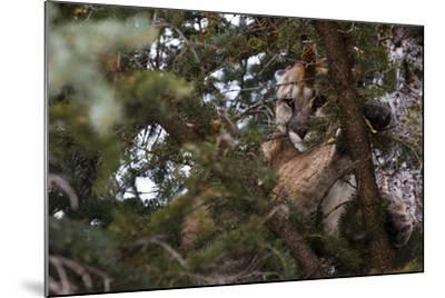 A Cougar, Treed by Hounds, to Be Tranquilized and Fitted with a Tracking Device-Steve Winter-Mounted Photographic Print