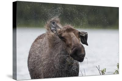 Portrait of a Female Moose, Alces Alces, Shaking Water from Her Coat-Peter Mather-Stretched Canvas Print
