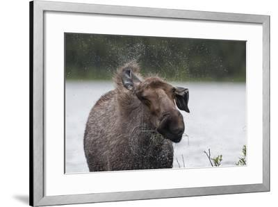 Portrait of a Female Moose, Alces Alces, Shaking Water from Her Coat-Peter Mather-Framed Photographic Print