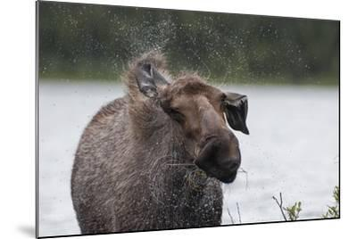 Portrait of a Female Moose, Alces Alces, Shaking Water from Her Coat-Peter Mather-Mounted Photographic Print