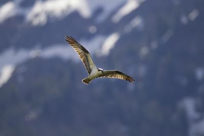 An Osprey, Pandion Haliaetus, Soaring Above Trout Lake in Yellowstone National Park-Robbie George-Framed Photographic Print