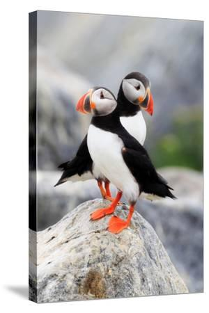 A Pair of Atlantic Puffins, Fratercula Arctica, Resting on a Rock Near their Nest-Robbie George-Stretched Canvas Print