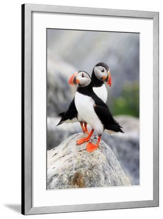 A Pair of Atlantic Puffins, Fratercula Arctica, Resting on a Rock Near their Nest-Robbie George-Framed Photographic Print