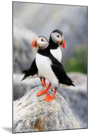 A Pair of Atlantic Puffins, Fratercula Arctica, Resting on a Rock Near their Nest-Robbie George-Mounted Photographic Print