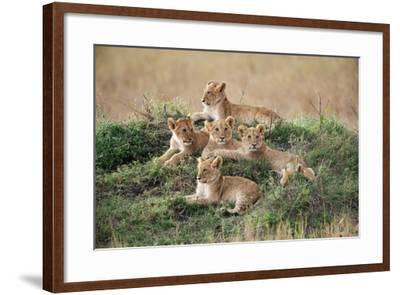 A Pride of Lion Cubs, Panthera Leo, Resting on a Hill Top-Bob Smith-Framed Photographic Print