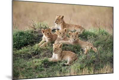 A Pride of Lion Cubs, Panthera Leo, Resting on a Hill Top-Bob Smith-Mounted Photographic Print