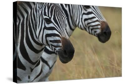 Close Up of the Faces of Two Zebras, Equus Species-Bob Smith-Stretched Canvas Print