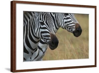 Close Up of the Faces of Two Zebras, Equus Species-Bob Smith-Framed Photographic Print
