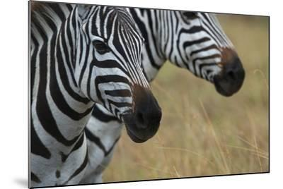 Close Up of the Faces of Two Zebras, Equus Species-Bob Smith-Mounted Photographic Print