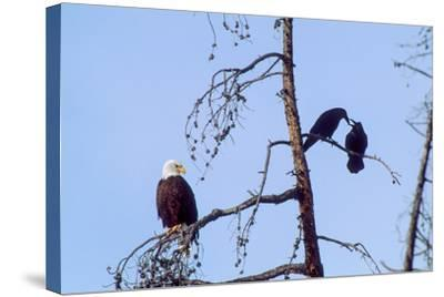 A Bald Eagle Watches Two Ravens in Disgust-Tom Murphy-Stretched Canvas Print
