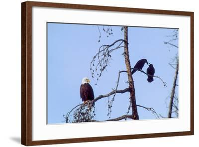A Bald Eagle Watches Two Ravens in Disgust-Tom Murphy-Framed Photographic Print